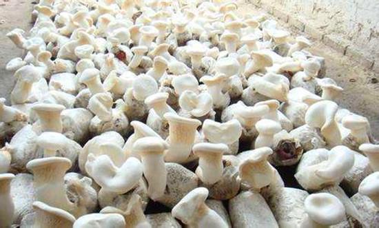 白灵菇为什么要疏蕾?