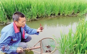 稻虾共生 可使收入增加2~3倍!