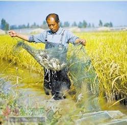 一组稻田养蟹技术,这四点得做好