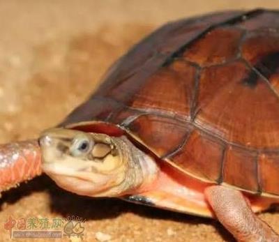 为什么越来越多人会看好龟鳖养殖业呢?