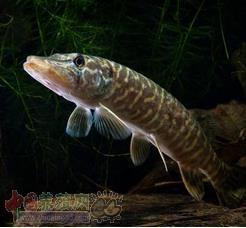 白斑狗鱼养殖应当要注意哪些方面?
