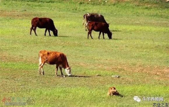 养牛技术之肉牛的酒糟育肥