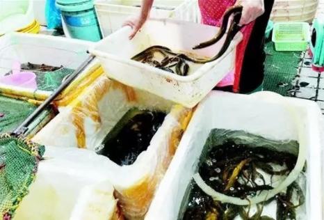 40元一斤!持续高温抬高鳝鱼价格!