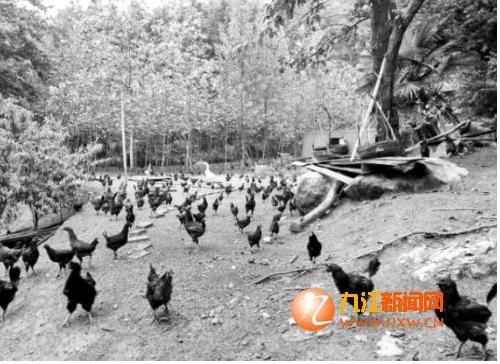 治理畜禽养殖污染 养鸡场要搬迁