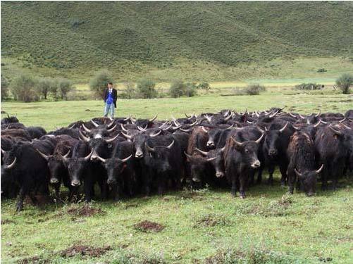 大通牦牛有哪些非同寻常的饲养方式吗?