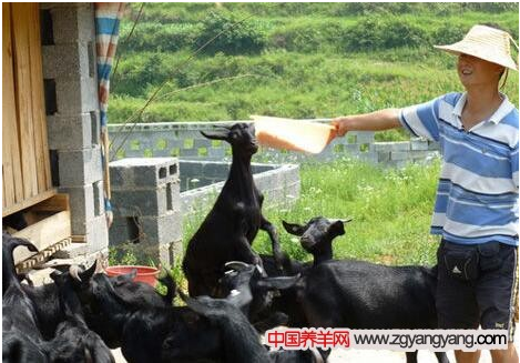 养殖户要怎样喂黑山羊才有效益?