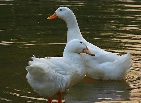 鸭瘟怎么防治?有什么特效药吗?
