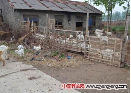 如何饲养好饲养的 ?槐山羊的饲养方法