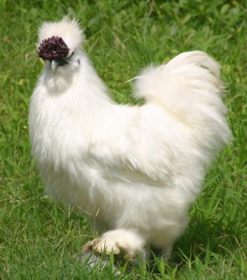 养殖乌骨鸡要考虑哪些基础条件