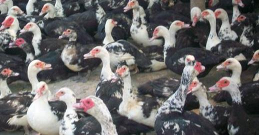 番鸭后备种鸭的饲养方法
