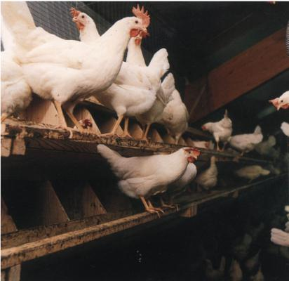 浅谈肉鸡养鸡技术,笼养肉鸡六个要点