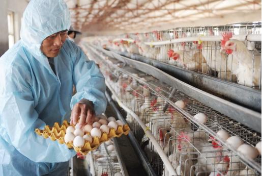 蛋鸡的生活习性,蛋鸡的生理变化规律