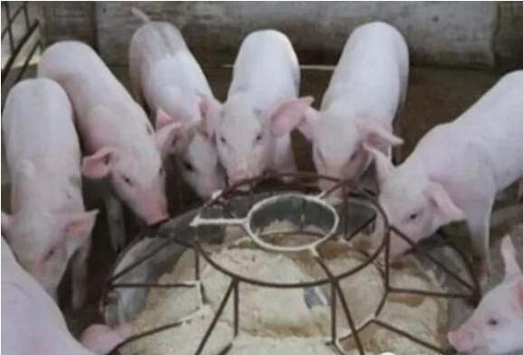 仔猪教槽料,我该喂颗粒,还是粉状?