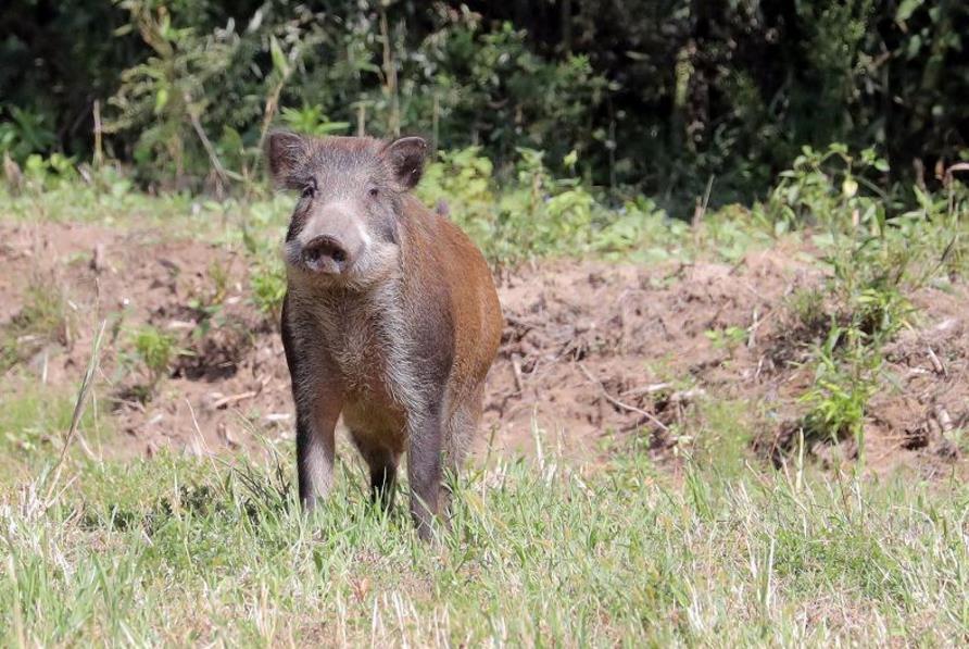 福岛核事故地区野猪横行,辐射威胁使猪肉不能卖也不能吃让猎人苦恼