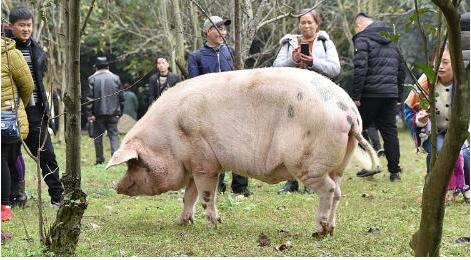 """汶川地震""""猪坚强""""已400斤独享一室一厅套房"""