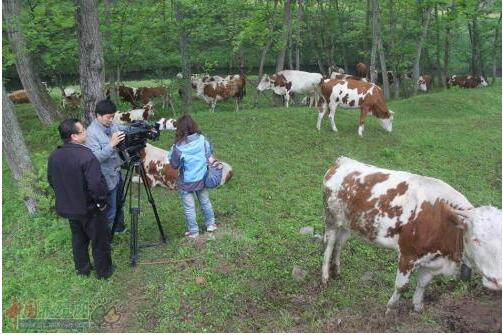 蜀宣花牛饲养条件和选种细则