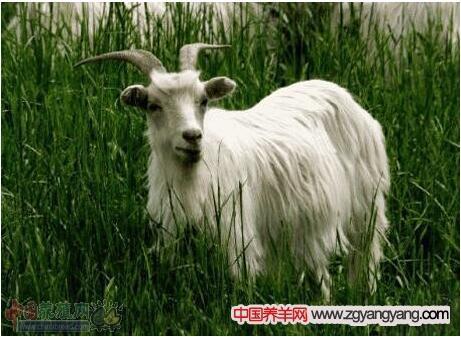 罕山白绒山羊在产前的饲养护理技术要点