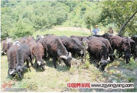 乌骨羊养殖的放牧、多产、驱虫技术