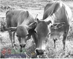 冬天养肉牛 如何管理长肉快
