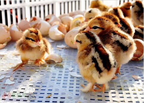 雏鸡饲养之温度事项,养殖雏鸡的合适温度是多少?