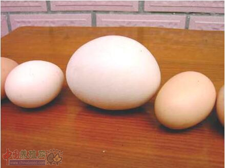 鸡产异常蛋是什么原因 鸡产异常蛋的原因分析