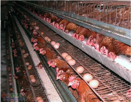 如何防止蛋鸡脱肛 预防蛋鸡脱肛的措施