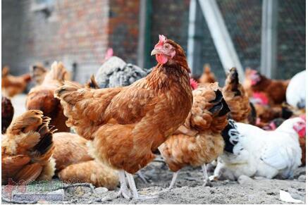 养鸡疾病防治误区,你知道几个