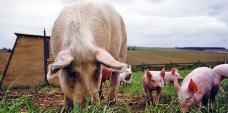 1月10日养猪业重要信息汇总