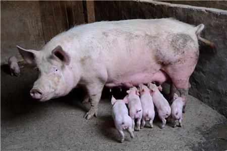 清明假期生猪价格会不会继续上涨?是由这个因素决定