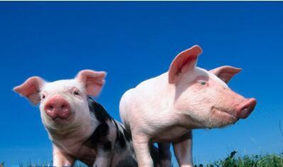 4月11日养猪业重要信息汇总