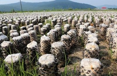 长秸秆栽培食用菌技术