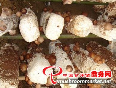 香菇生长发育期湿度多少适宜?