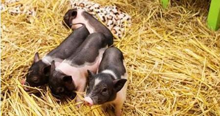 6月21日养猪业重要信息汇总