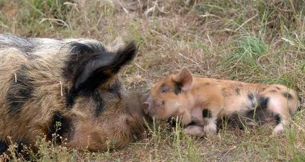 6月25日养猪业重要信息汇总