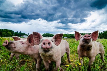 7月4日养猪业重要信息汇总