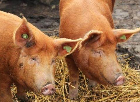 8月9日养猪业重要信息汇总