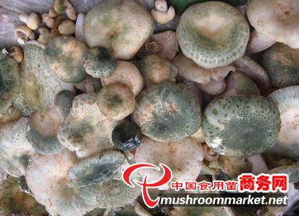 几种白灵菇病害的识别与防治