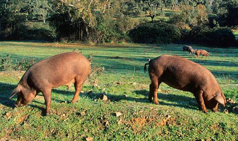 冻肉收储未能如愿带动猪价!供应偏紧何时会再次暴涨?