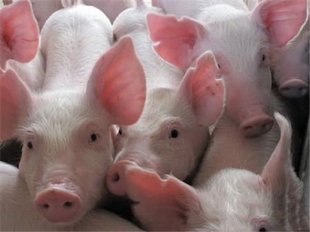 辽宁:存栏连创近年来历史新低、三元猪当母猪配种