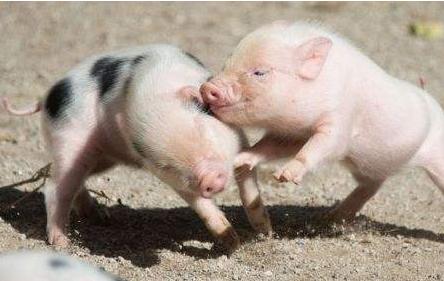 部分地区仔猪价格跌破成本线!调运政策松动能否提振?