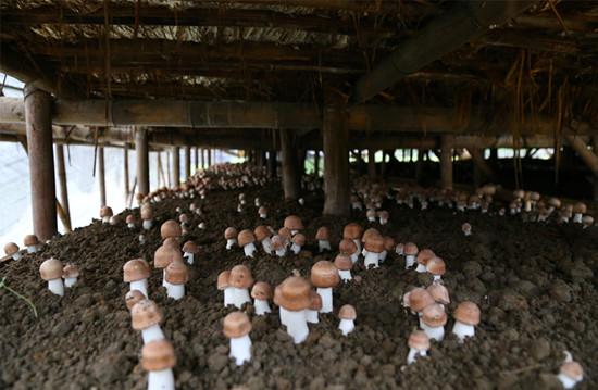 麦秸栽培巴西菇技术要点
