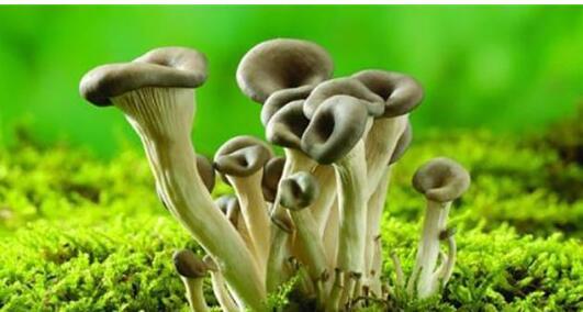 林地栽培平菇要注意以下关键措施