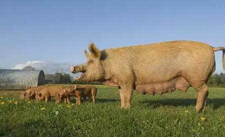 为防非洲猪瘟,广东各地邮政部门纷纷下通知,江门举报泔水养猪奖500元