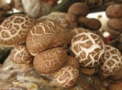 香菇免割袋的袋头出菇的主要原因