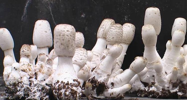 香菇废料栽培鸡腿菇高产技术