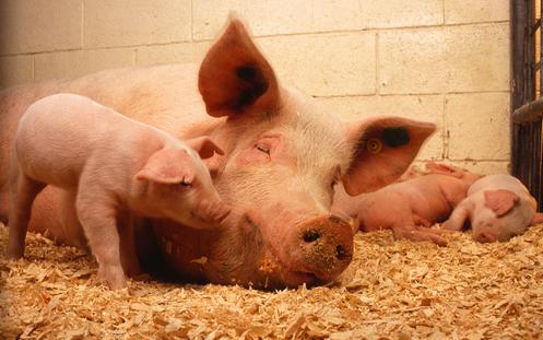 下旬猪肉供应将逐步吃紧 猪价上涨模式或开启