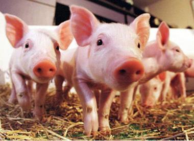 利润缩水!生猪出栏散户降低1.8元,大型养殖场降3.69元