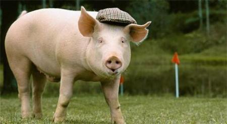 非洲猪瘟影响肉类进口?禁止从疫区进口猪肉的国家有……