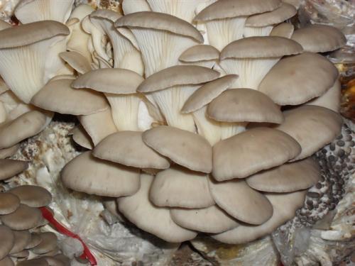 花生壳高效栽培平菇新技术