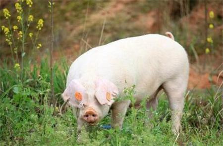 生猪市场供需矛盾尖锐 猪价跌幅扩大